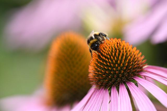 Bumblebee on an echinacea