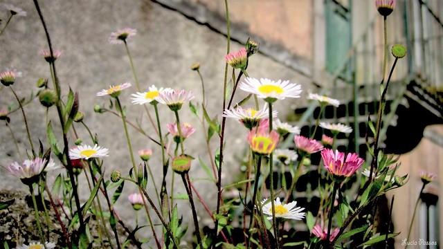 Flores de Sintra
