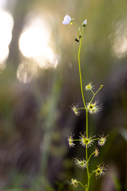 Tall Sundew - Drosera auriculata (ID uncertain)