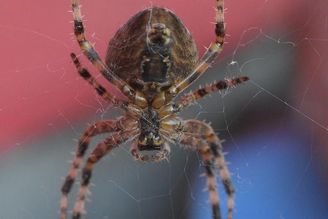 seattle spider