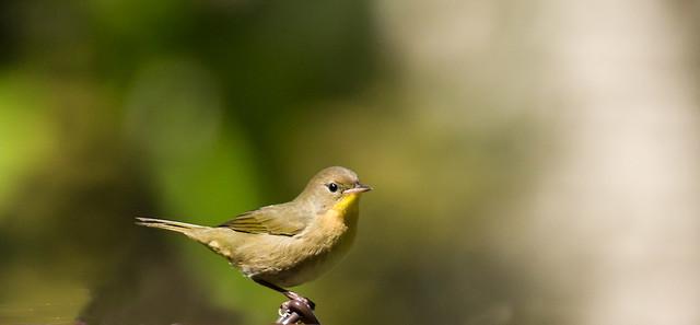 0P7A8478   juvenile Common Yellowthroat Warbler, Canada