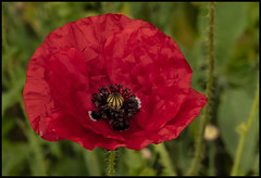 Remembrance Poppy Day 11-11th-1=