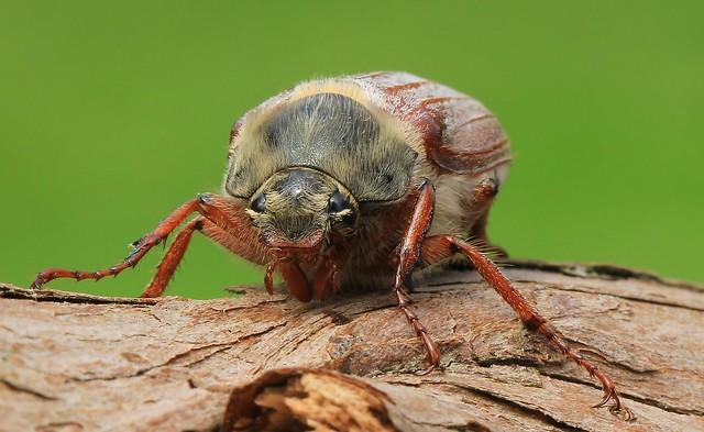 Cockchafer beetle- Melolontha melolontha-my garden Wool Dorset-070621  (3)