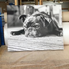 #canvasart #canvasprints #pets #petsoncanvas #petsofinstagram #dog #pug #blackandwhite