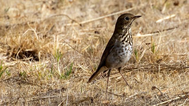 ID'd as Hermit Thrush (Not Fox Sparrow), Neary Lagoon