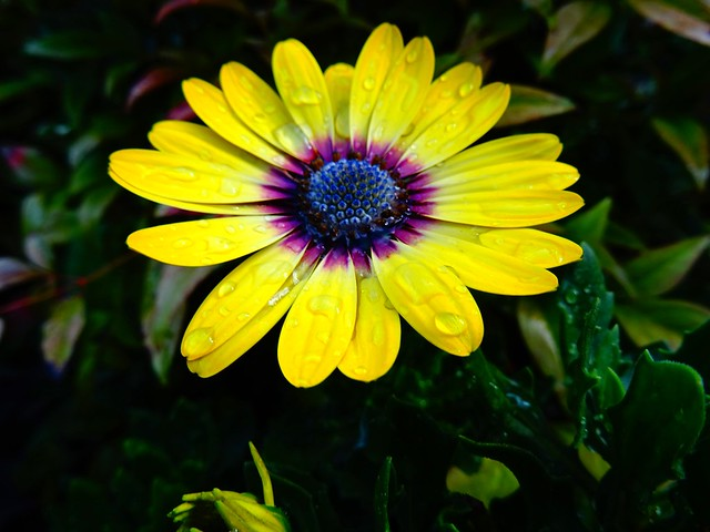 October Cape Daisy