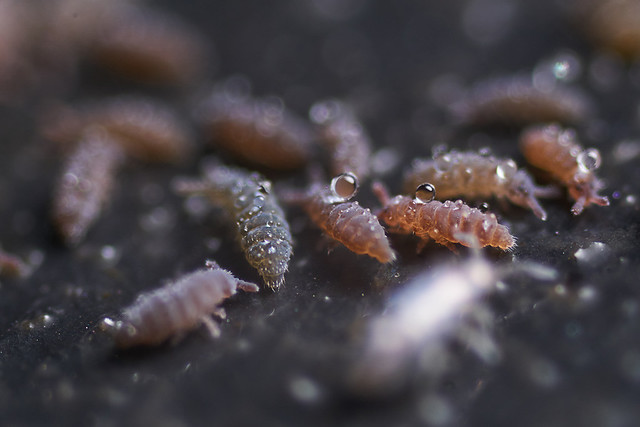 Springtails with dewdrops X4