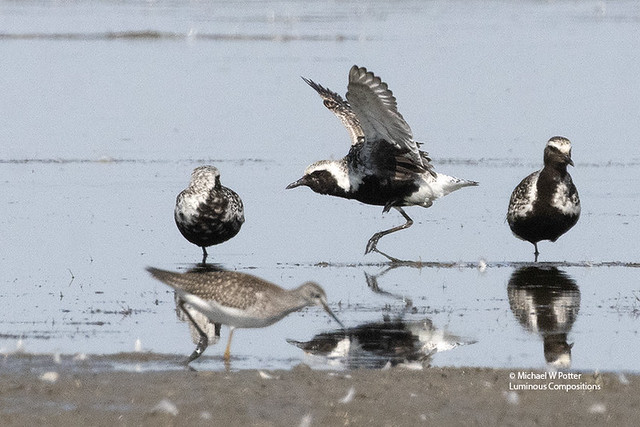 Black-bellied Plover three, one taking off