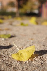Yellow leaf II