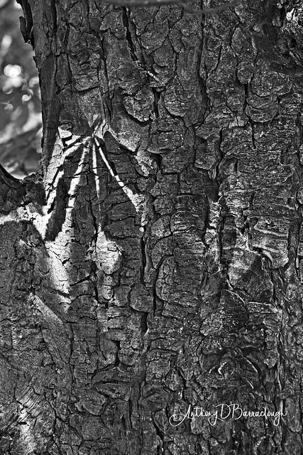 Leaf Shadow on Tree 939m-1