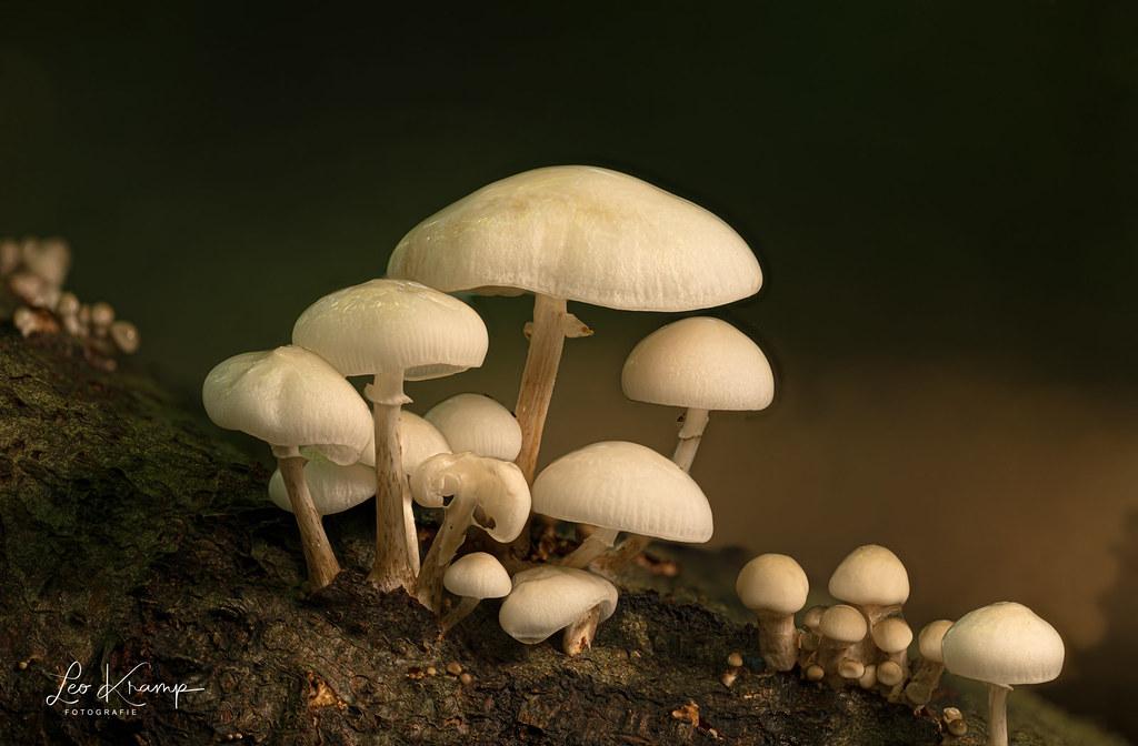 Porcelain Fungus | Porseleinzwam [Explore]