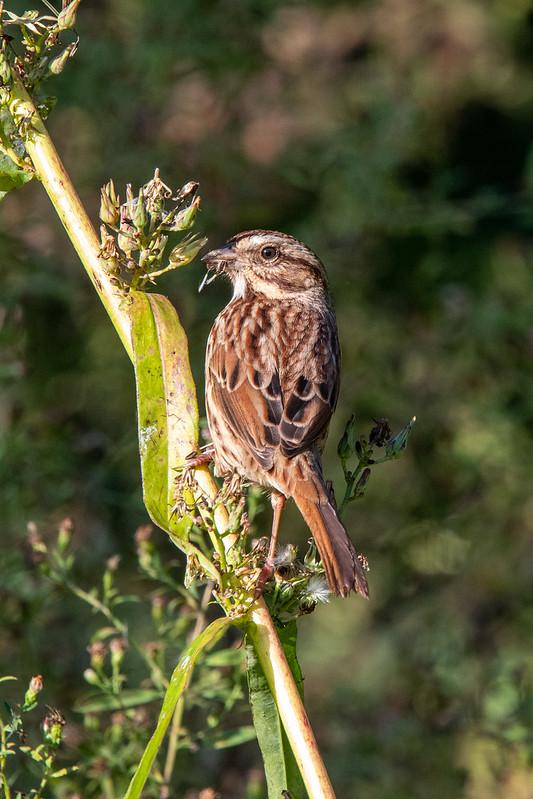 song-sparrow-5378