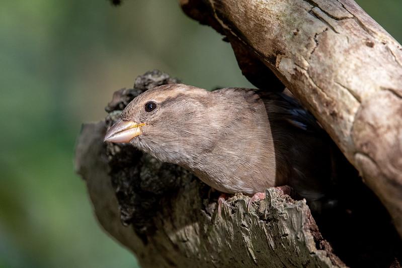 house-sparrow-5510