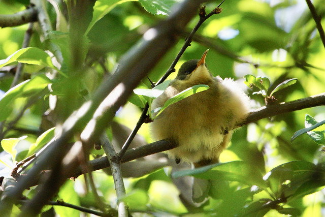 chick in the bushes