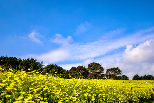 Yellow cosmos fields