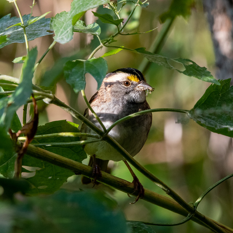 white-throated-sparrow-5327