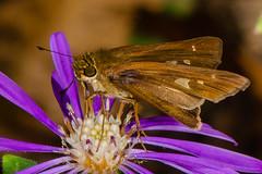 Ocola Skipper Butterfly