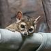 "<p><a href=""https://www.flickr.com/people/djjamphoto/"">joemastrullo</a> posted a photo:</p>  <p><a href=""https://www.flickr.com/photos/djjamphoto/51614680467/"" title=""Cincinnati Zoo 10-21-21-00887""><img src=""https://live.staticflickr.com/65535/51614680467_e87b7248d4_m.jpg"" width=""240"" height=""160"" alt=""Cincinnati Zoo 10-21-21-00887"" /></a></p>  <p>Ringtail</p>"
