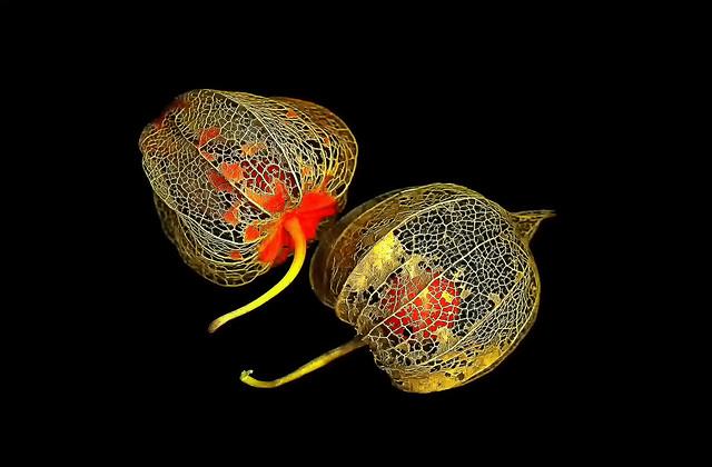 Chinese lantern flower (Physalis alkekengi)