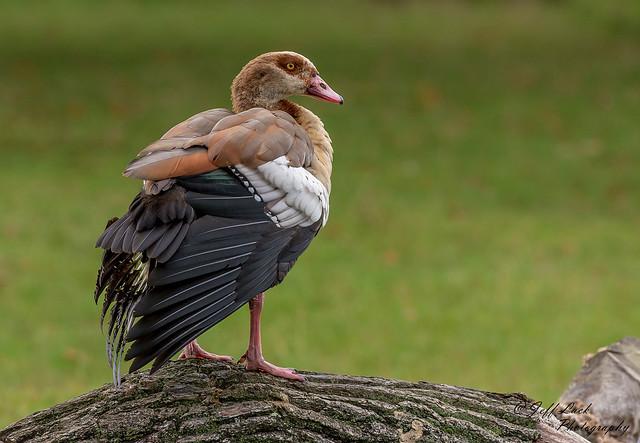 DSC7810  Egyptian Goose..