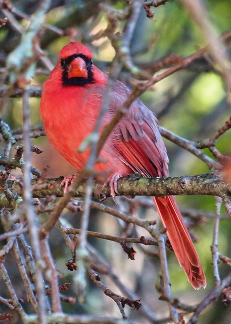 Mr. Cardinal with a mustache.  (I promise I did not do it. I suspect he was drinking chocolate milk.) #birdwatching #cardinal #trumbullct