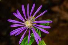 Georgia Aster Flower