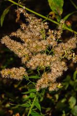 Anise-scented Goldenrod Fruit