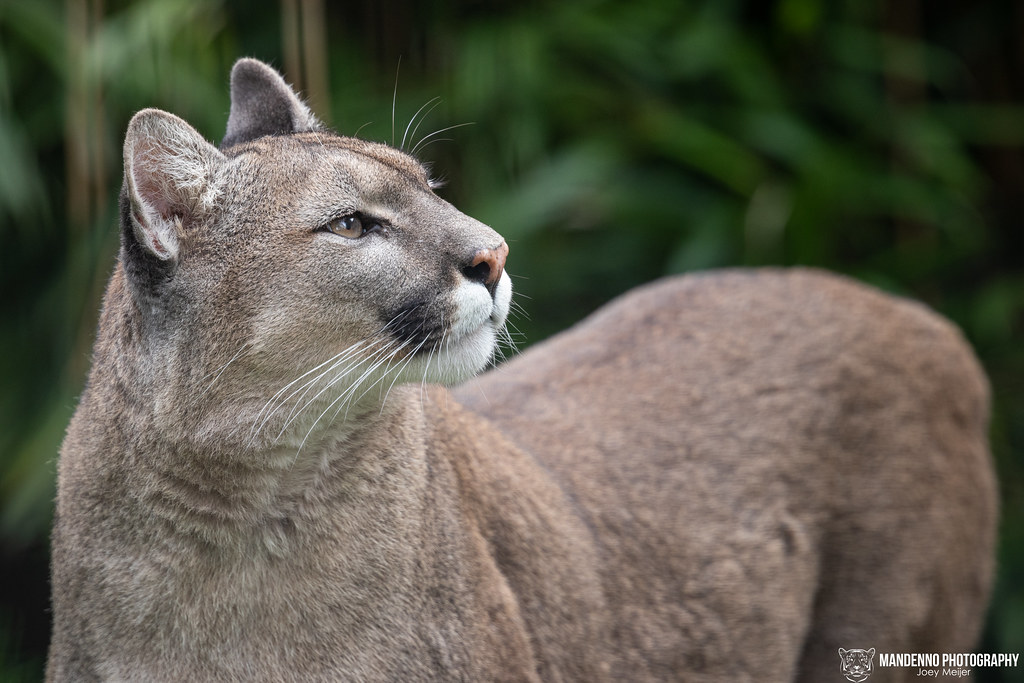 """Puma/Mountain Lion """"Priya"""" - Pakawi Park - Belgium"""