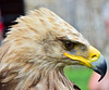 White-tailed eagle II