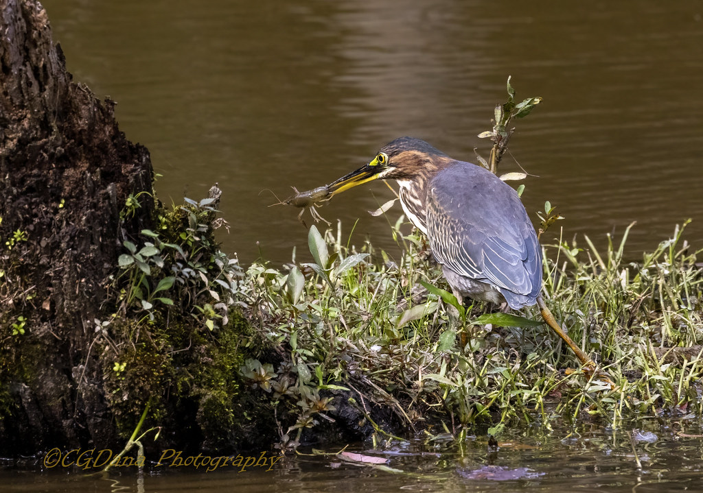 Green Heron (Butorides virescens) giving a helping beak to a lost crayfish
