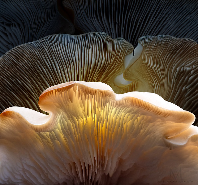 layers of oyster mushroom gills