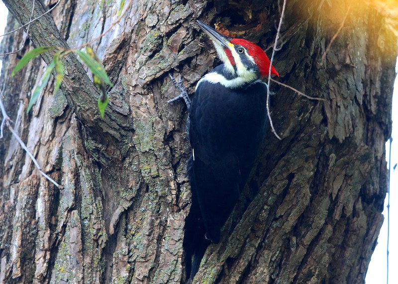 pileated woodpecker male at Lake Meyer Park IA 2K3A8954