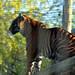 "<p><a href=""https://www.flickr.com/people/194227482@N07/"">susie_jane</a> posted a photo:</p>  <p><a href=""https://www.flickr.com/photos/194227482@N07/51616285255/"" title=""Sumatran Tiger""><img src=""https://live.staticflickr.com/65535/51616285255_657093f73c_m.jpg"" width=""160"" height=""240"" alt=""Sumatran Tiger"" /></a></p>"