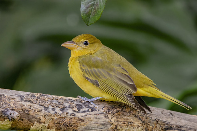 ♀️ Summer tanager