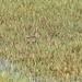 Correlimos pectoral-Calidris melanotos-Pectoral sandpiper