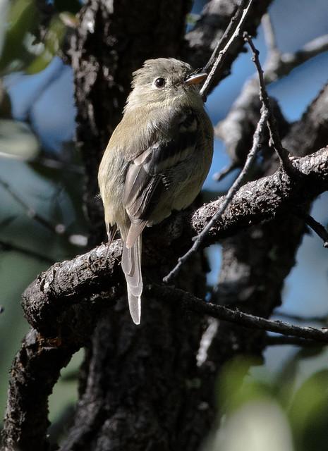 Pine Flycatcher (Empidonax affinis)-1283