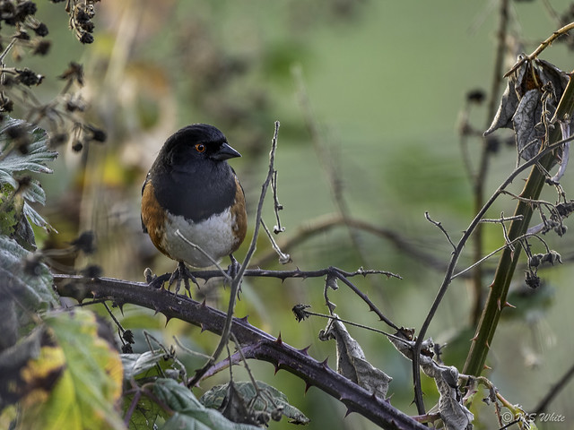 Backyard tales…Spotted Towhee in Autumn.