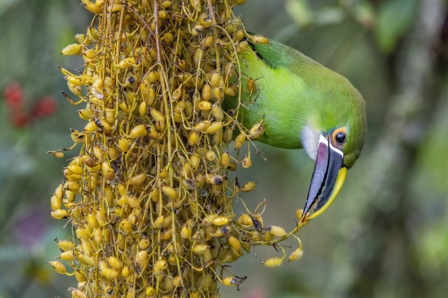 Andean toucanet eating the seeds of