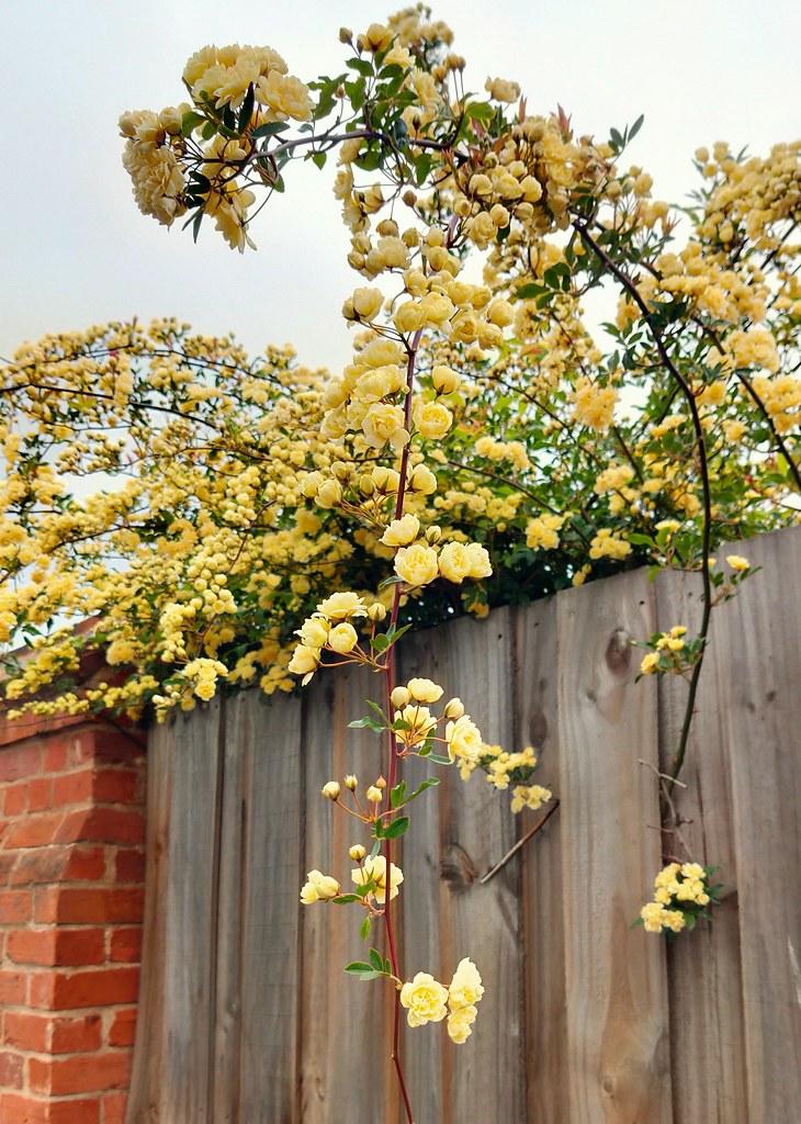 Banksia Rose in Longford.