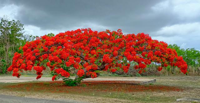 Poinciana flowering season - ruins of old Retta Dixon Home, Darwin, NT, Australia