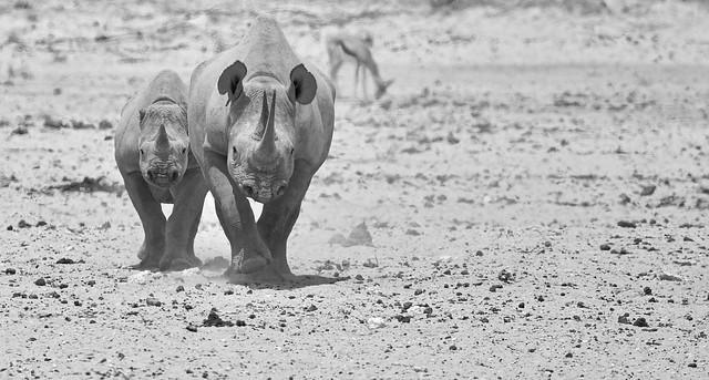 Africn wildlife. Black rhino and cub. NAM