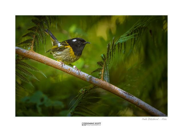 Male Stitchbird - Hihi