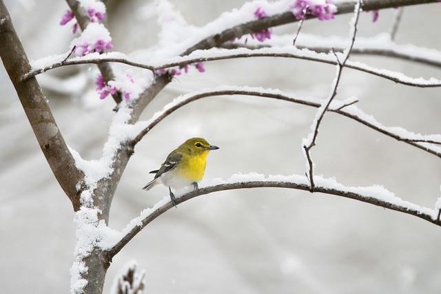 Yellow-throated Vireo - Shawnee, Ohio
