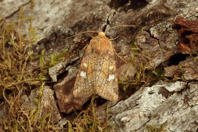 73.129 Crinan Ear (Amphipoea crinanensis), Resipole, Argyll