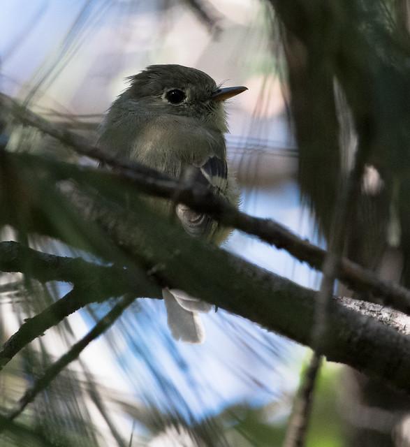 Pine Flycatcher (Empidonax affinis)-1271