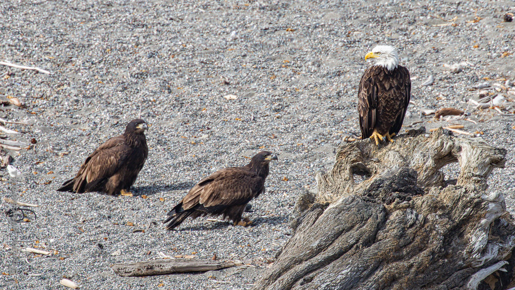 Gualala Eagle Family