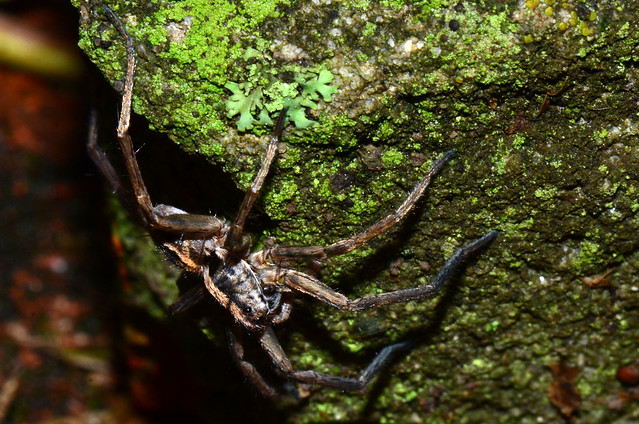 Lycosa Wandering Wolf Spider