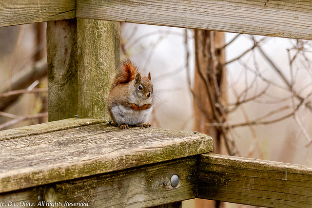 American Red Squirrel #1 - 2020-04-26