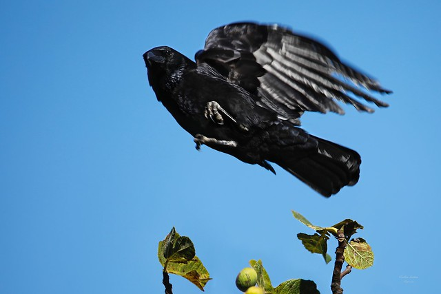 Corvo (Corvus Corax)