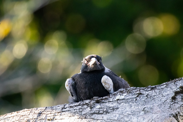 First image of one of the newborn Australian magpies at dusk resting on a tree branch near its nest. It's quite unsteady on its feet. Its parents were nearby keeping a close watch.